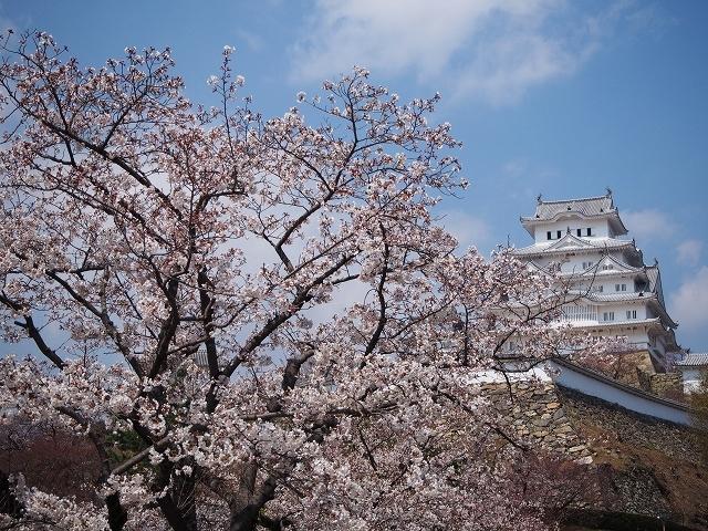 姫路城周辺の桜_e0289203_10434767.jpg