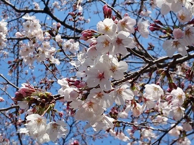 姫路城周辺の桜_e0289203_10435217.jpg