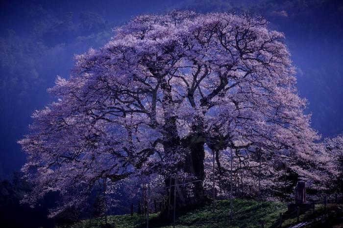 """月光に浮かぶ """"醍醐桜"""" そのⅠ_a0140608_12423859.jpg"""
