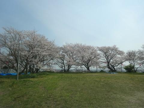 西条市 小松中央公園、吉田河原、久妙寺の桜巡り3分咲と追記で見頃の満開…2019/3/29_f0231709_02293719.jpg