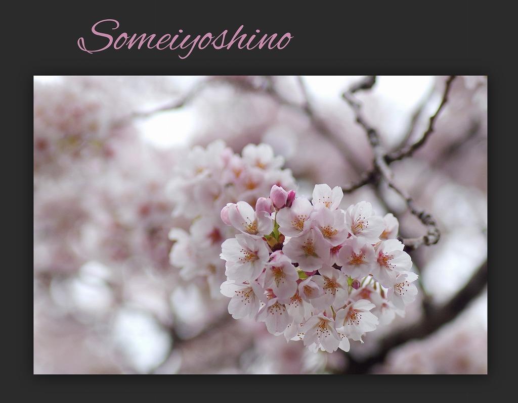 どこよりもここの桜は・・・_d0147812_18443947.jpg