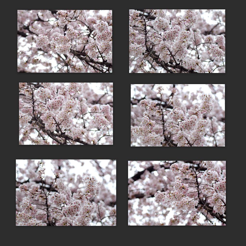 どこよりもここの桜は・・・_d0147812_18461993.jpg