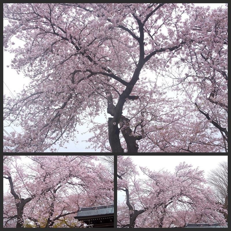 どこよりもここの桜は・・・_d0147812_18473075.jpg