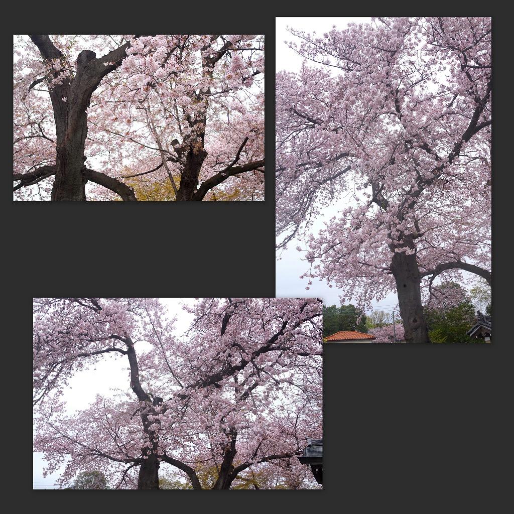 どこよりもここの桜は・・・_d0147812_18475071.jpg