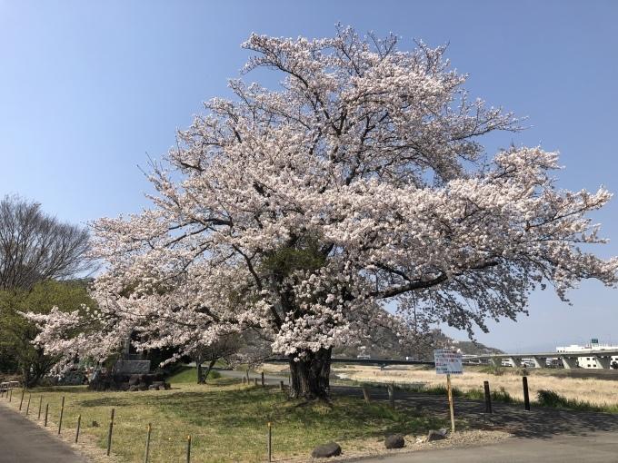 桜🌸_d0155416_09420275.jpeg