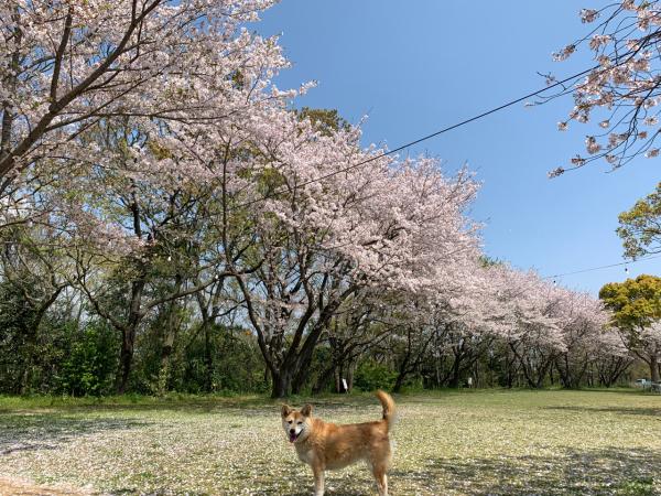 第841回 サクラちゃんとお花見_b0133822_19403772.jpg