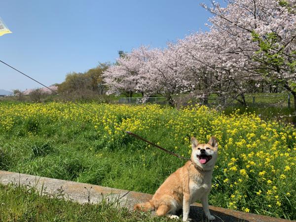 第841回 サクラちゃんとお花見_b0133822_19404139.jpg