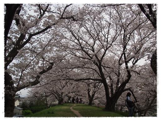 桜満開 in 酒津公園_c0026824_18065528.jpg