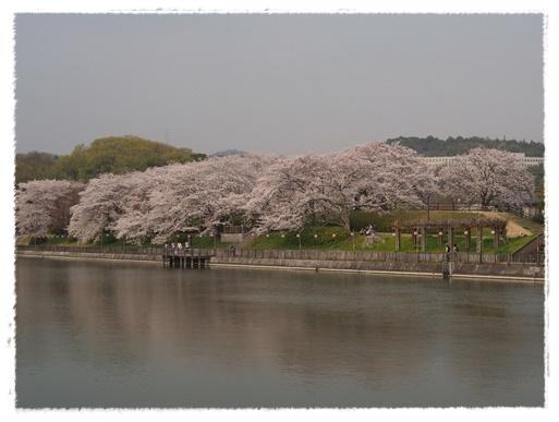 桜満開 in 酒津公園_c0026824_18130443.jpg