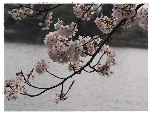 桜満開 in 酒津公園_c0026824_18131875.jpg