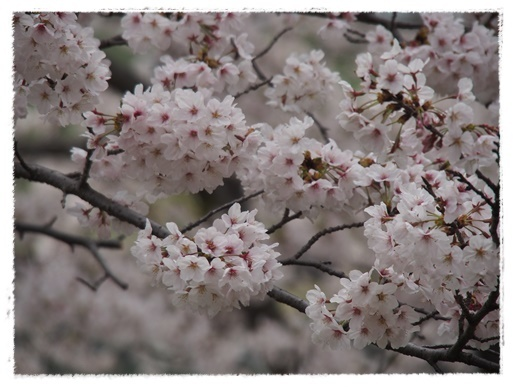 桜満開 in 酒津公園_c0026824_18182225.jpg