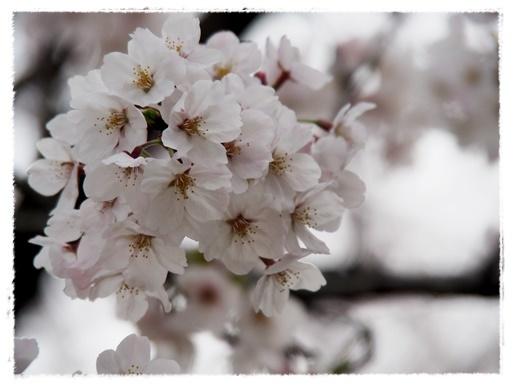 桜満開 in 酒津公園_c0026824_18183373.jpg