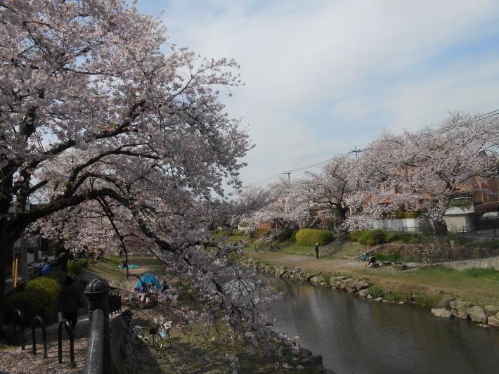 今日の野川の桜です。寒い〜。_a0095931_17100124.jpg