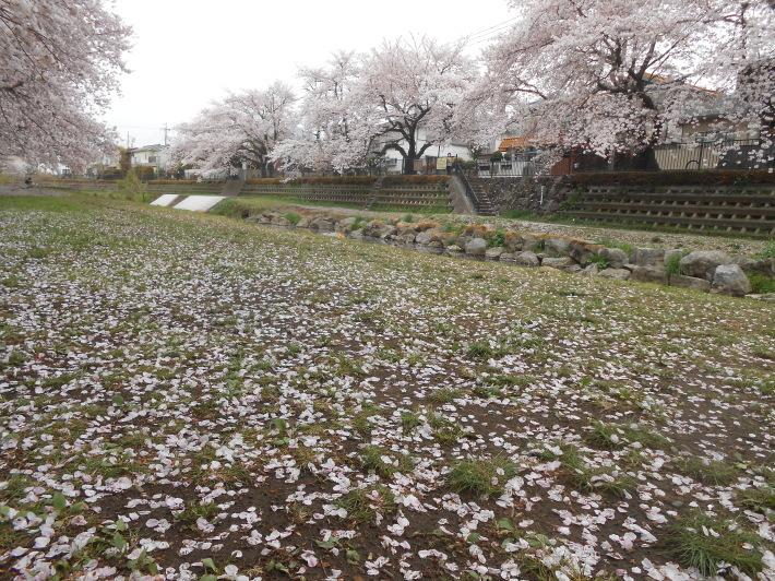 今日の野川の桜です。寒い〜。_a0095931_17244590.jpg