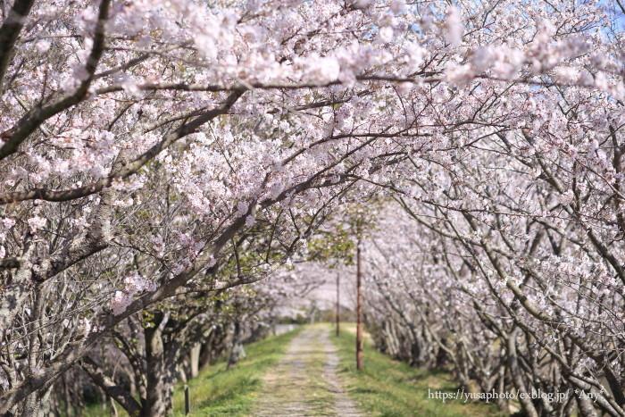 桜のトンネル_e0347431_23264087.jpg