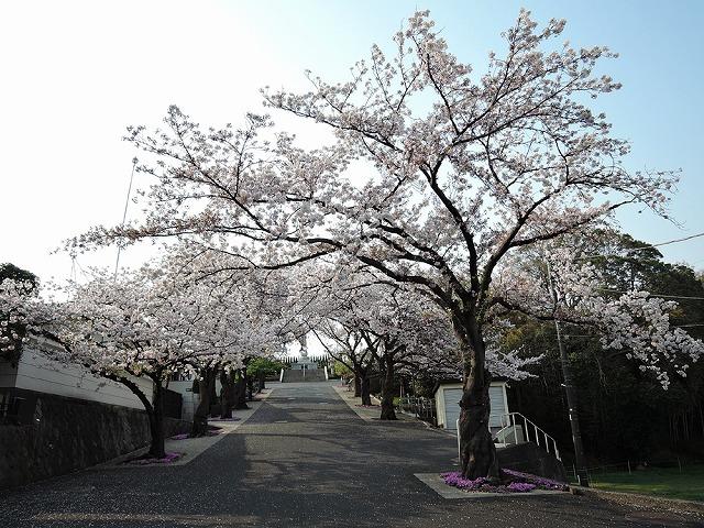 ハマの桜_c0062832_16470010.jpg