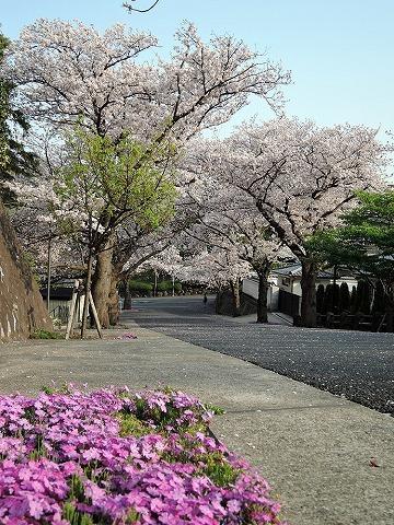 ハマの桜_c0062832_16470063.jpg