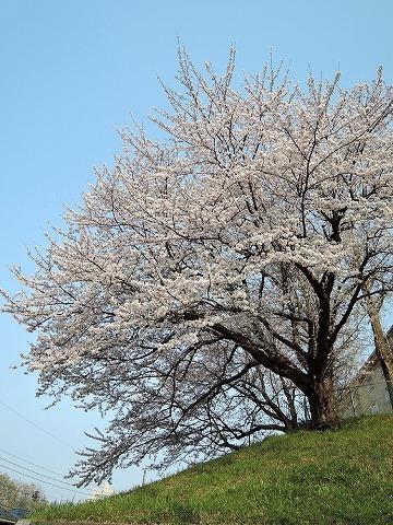 ハマの桜_c0062832_16470115.jpg