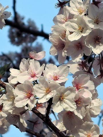 ハマの桜_c0062832_16470166.jpg