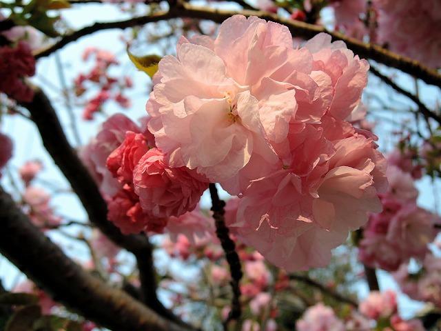ハマの桜_c0062832_16470176.jpg