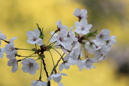 お花見登山② コラボレーション_a0345833_22200996.jpg