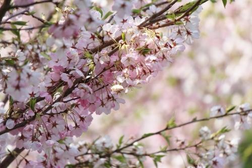 お花見登山② コラボレーション_a0345833_22335546.jpg