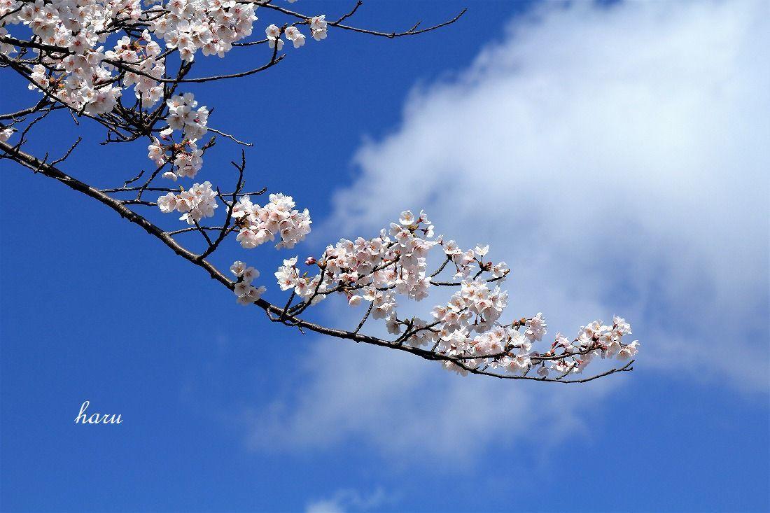 高尾城跡で花見_f0297537_20290899.jpg