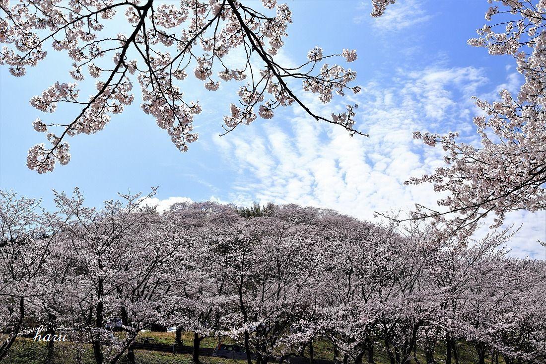 高尾城跡で花見_f0297537_20295609.jpg