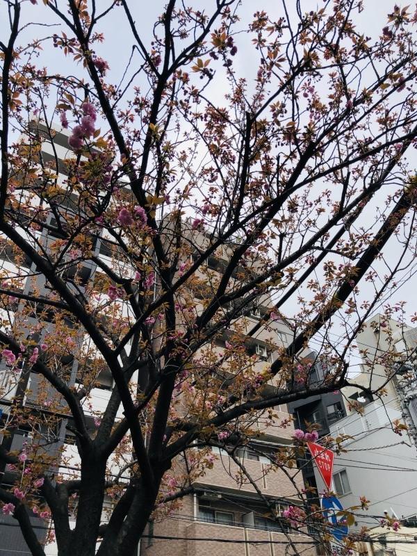 八重桜咲き始めたなー。&4月9日(火)のランチメニュー_d0243849_15084791.jpeg