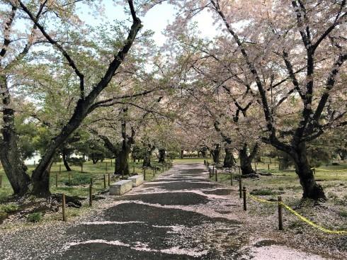 桜も…頑張っています(^_^)_d0082356_11173847.jpg