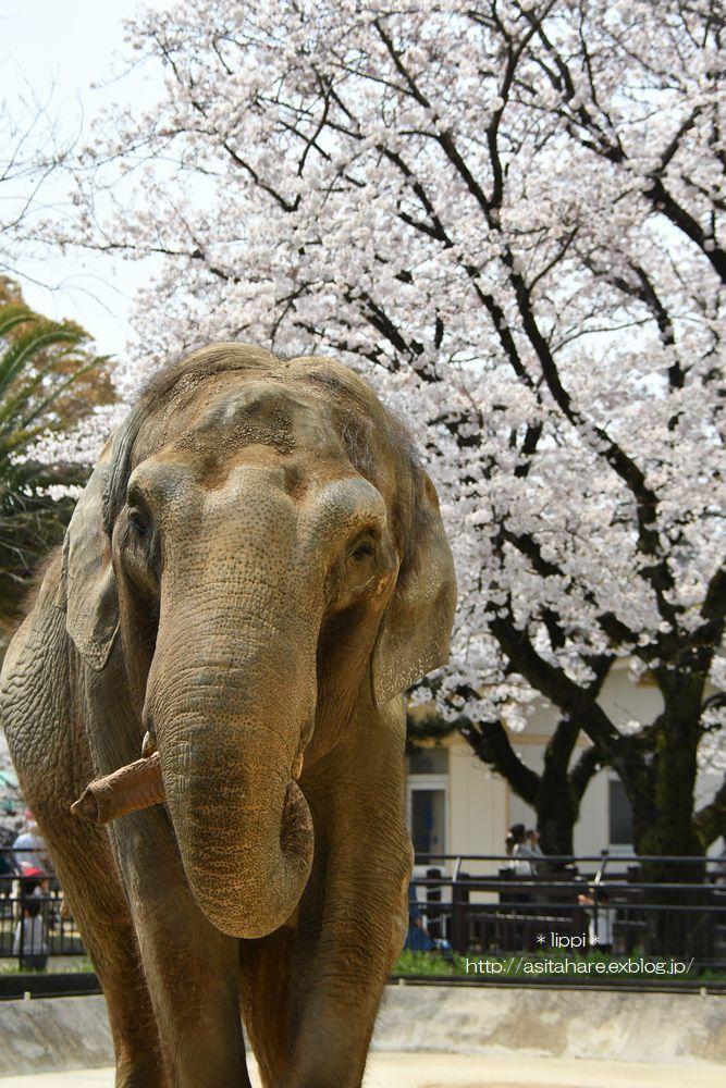 ゾウと桜_b0024758_21294488.jpg