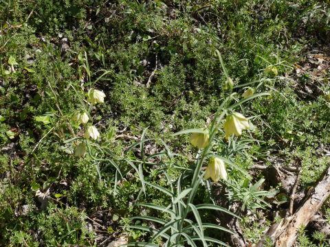 バイモ発見、六国見山で山野草続々開花4・2_c0014967_09565719.jpg