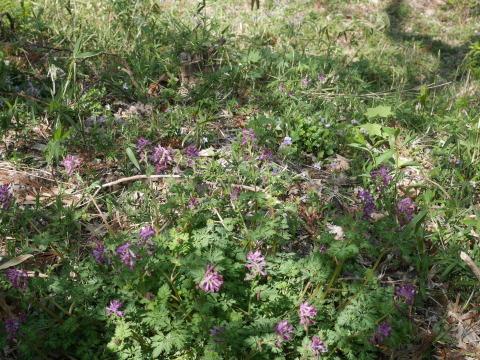 バイモ発見、六国見山で山野草続々開花4・2_c0014967_09583676.jpg