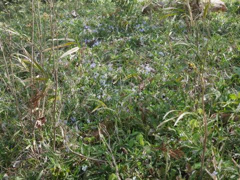 バイモ発見、六国見山で山野草続々開花4・2_c0014967_09593311.jpg