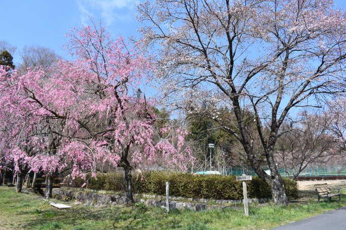 桜の開花情報_c0238069_10494182.jpg