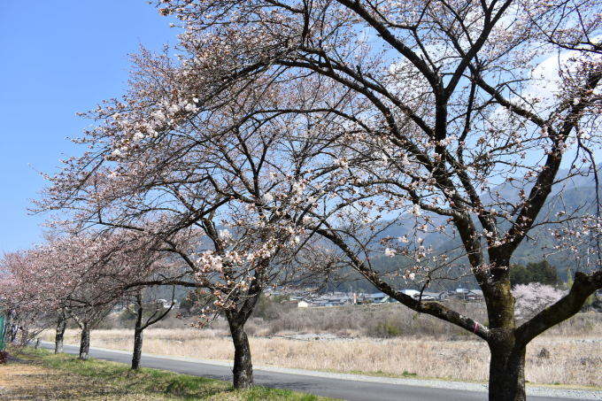 桜の開花情報_c0238069_10495476.jpg