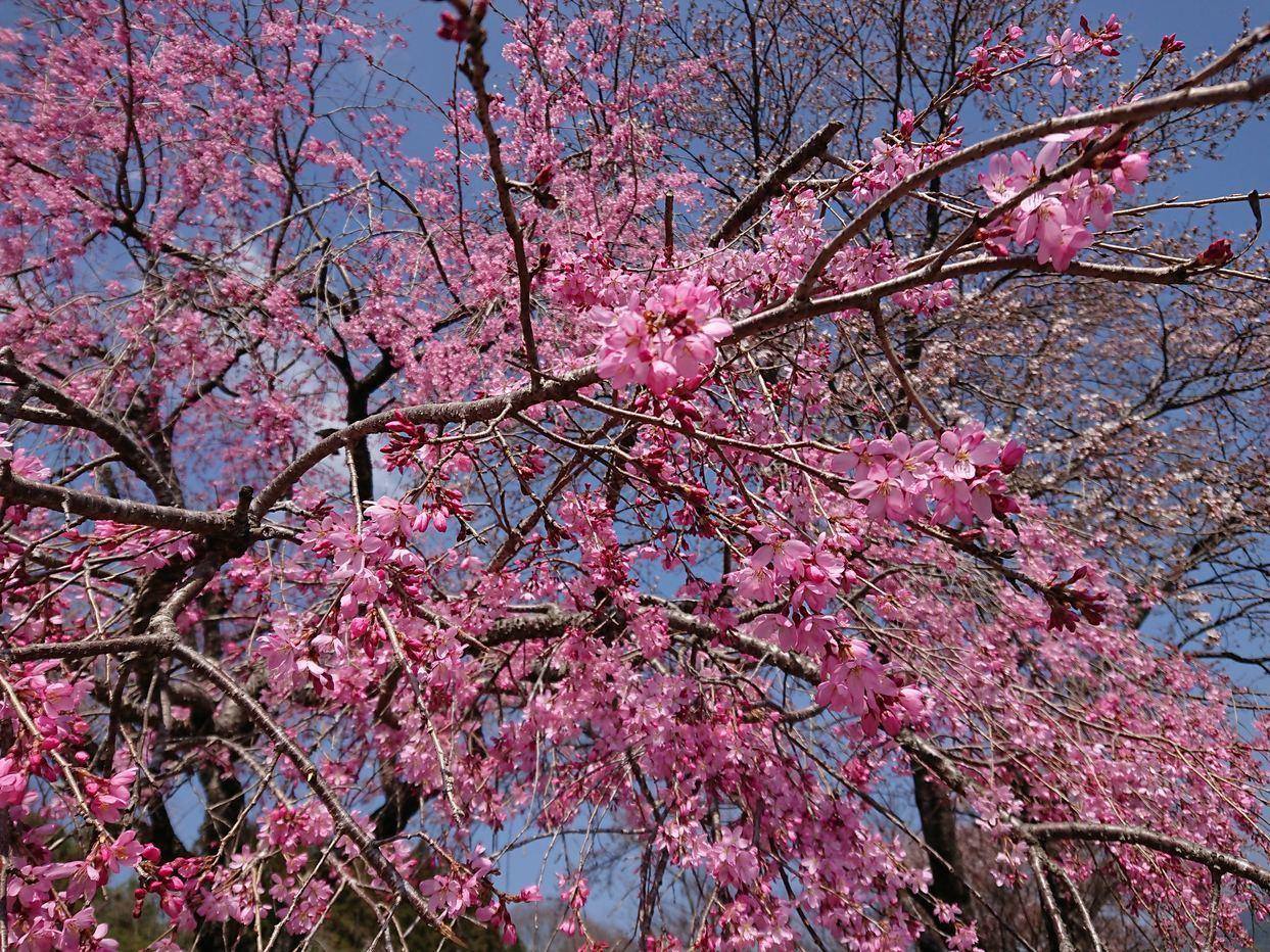 桜の開花情報_c0238069_10531943.jpg