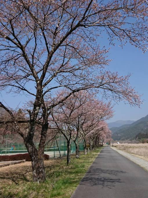 桜の開花情報_c0238069_10532230.jpg