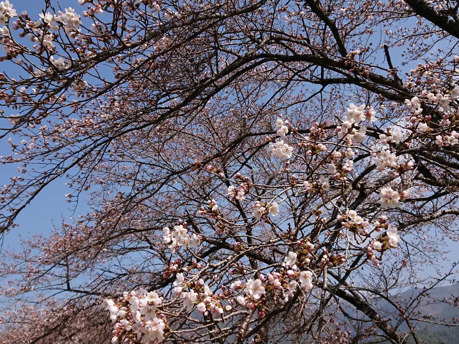 桜の開花情報_c0238069_10532536.jpg