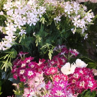 オークリーフ(新しい品種のバラ)_f0049672_18444495.jpg