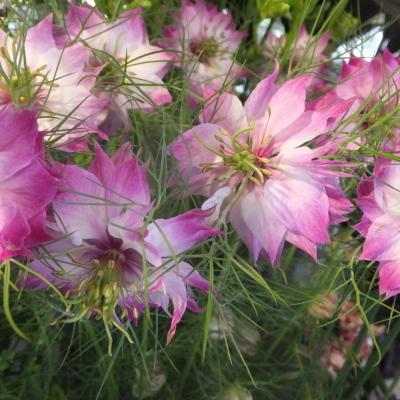 オークリーフ(新しい品種のバラ)_f0049672_18452236.jpg