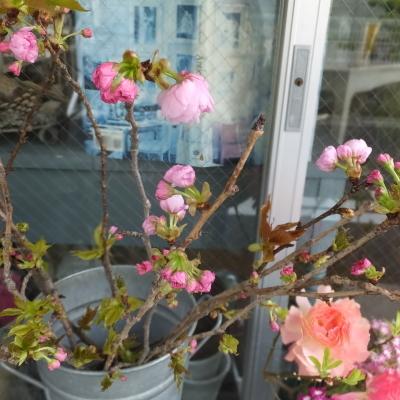 オークリーフ(新しい品種のバラ)_f0049672_18455684.jpg