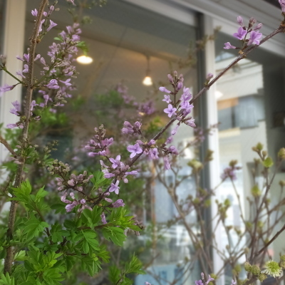 オークリーフ(新しい品種のバラ)_f0049672_18460545.jpg