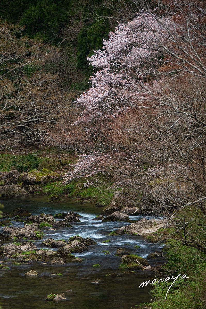 小松の桜_c0085877_06233067.jpg