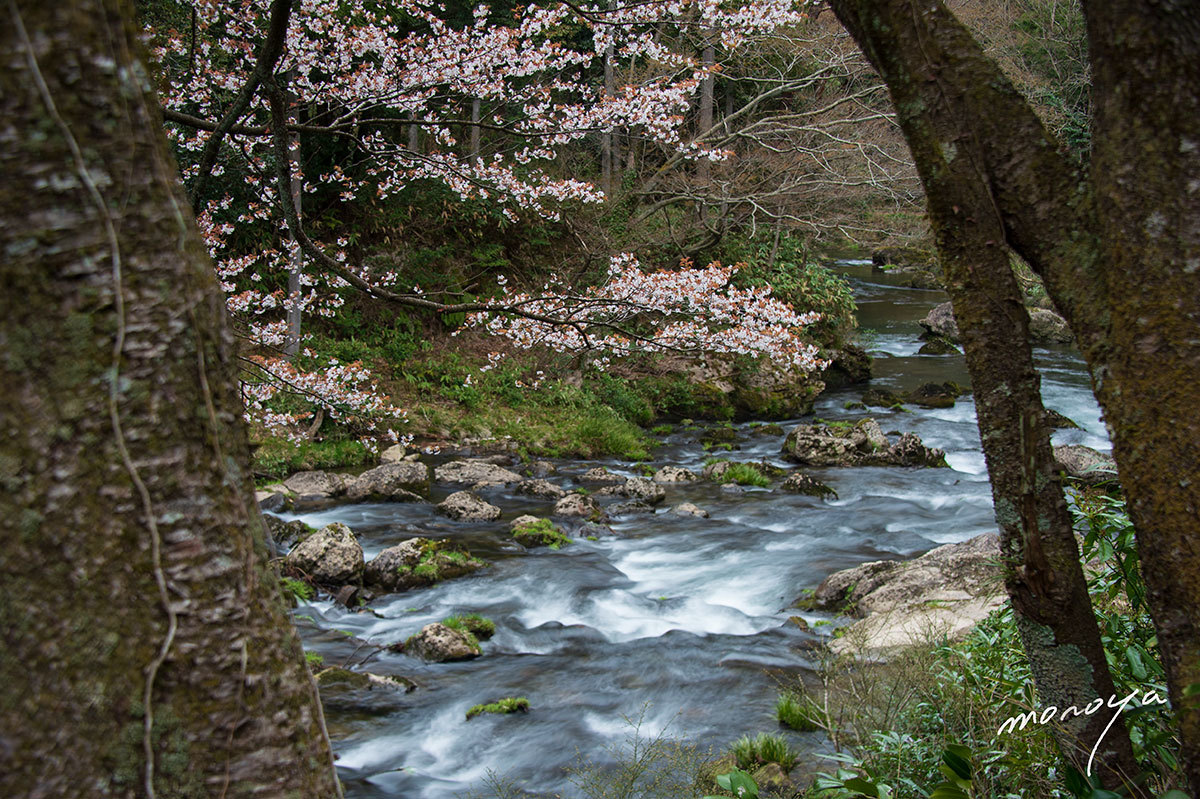 小松の桜_c0085877_06233774.jpg