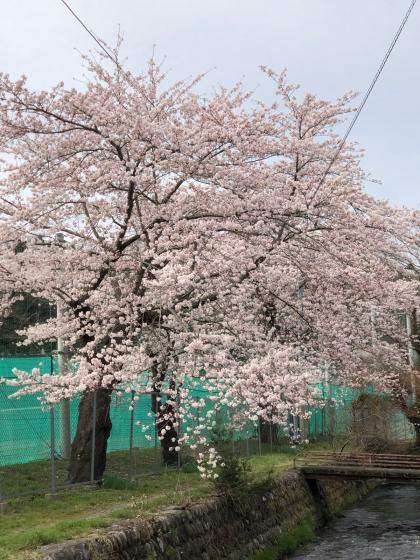勝手に桜ツアー 白石散歩アプリコース①_e0355177_19542333.jpg