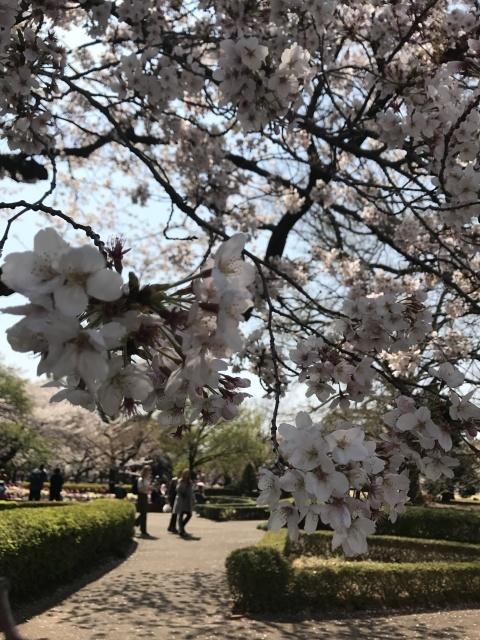 新宿御苑の桜_a0180279_13332599.jpg
