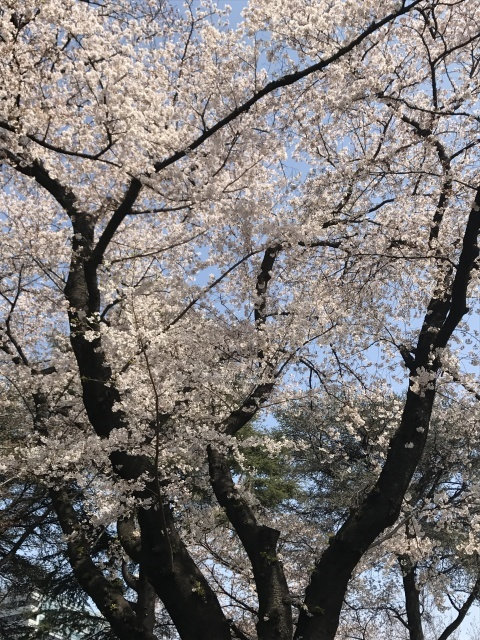 新宿御苑の桜_a0180279_13350072.jpg