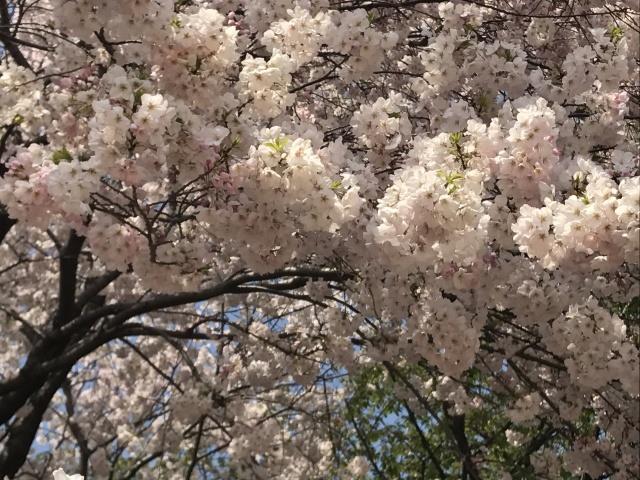 新宿御苑の桜_a0180279_13363869.jpg