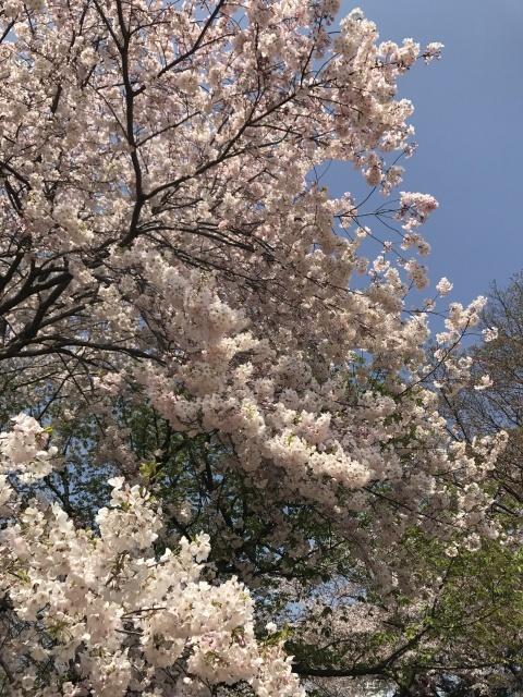 新宿御苑の桜_a0180279_13372313.jpg